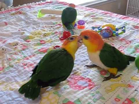 Baby White Bellied Caiques
