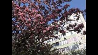 Райская яблоня и ее цветение, blossom paradise apples