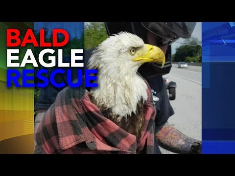 Dinero - American Bald Eagle SAVED on Memorial Day!