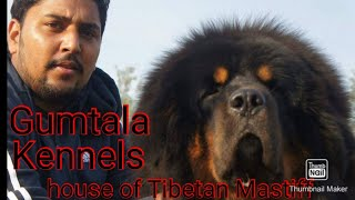 #Tibetan Mastiff Best Quality Gumtala KennelOwner Mr Damanjit Singh Dhillon 9915370001.Tibetan