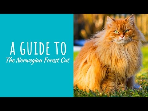 A Guide To The Norwegian Forest Cat
