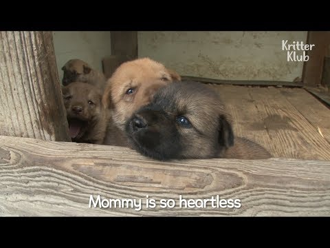 Mother Dog Doesn't Care About Her Puppies | Kritter Klub