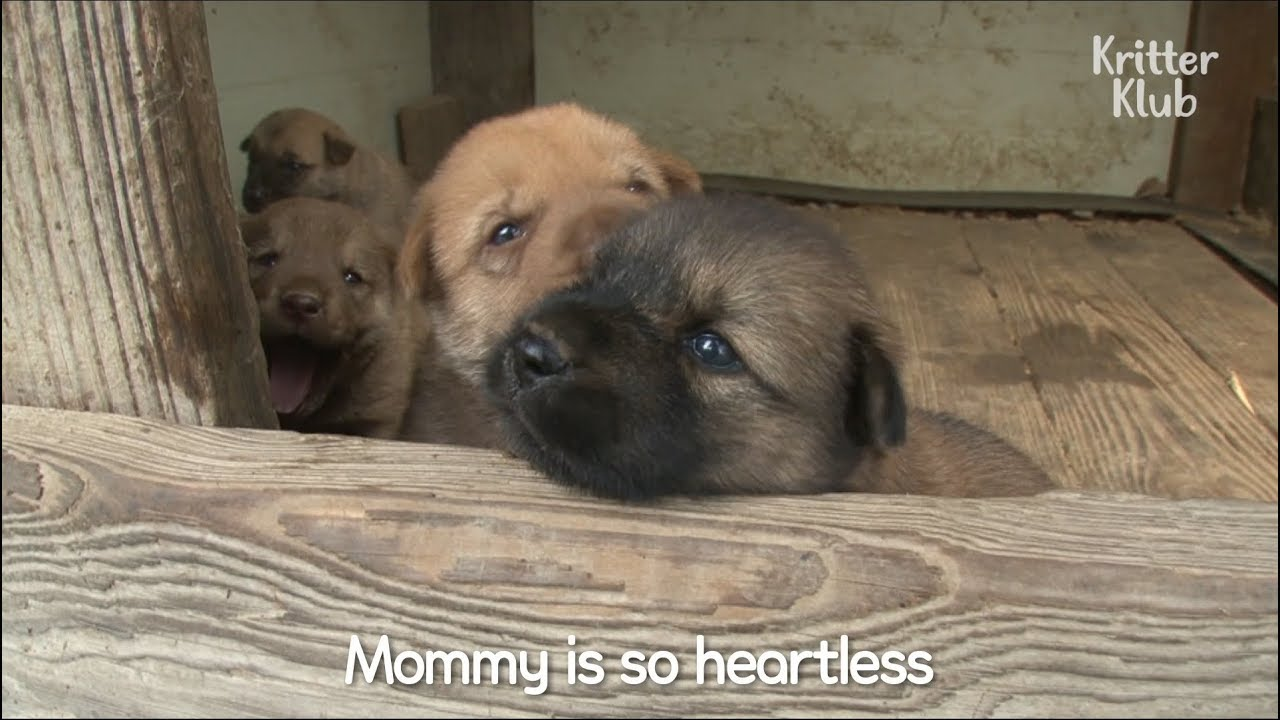 Mother Dog Doesnt Care About Her Puppies Kritter Klub Youtube
