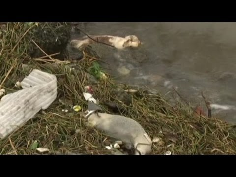 Latest on China's Pig Littered River