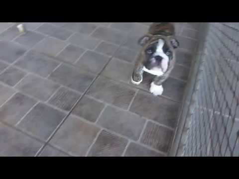 Big Papi Bulldogs - Bigpapibull The Great Gatsby (12 semanas)