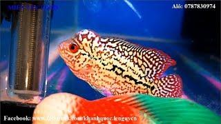 Top 1 Super King Kamfa Flowerhorn Fish   All Beautiful Flowerhorn Cichlid   VIP Kamfa Flowerhorn