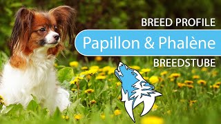 Papillon & Phalène Breed, Temperament & Training