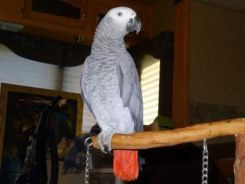 Talking Parrot Video Bird African Grey Congo Parrots Videos