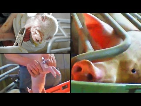 Torturing Piglets in Front of their Moms - Video Exposing