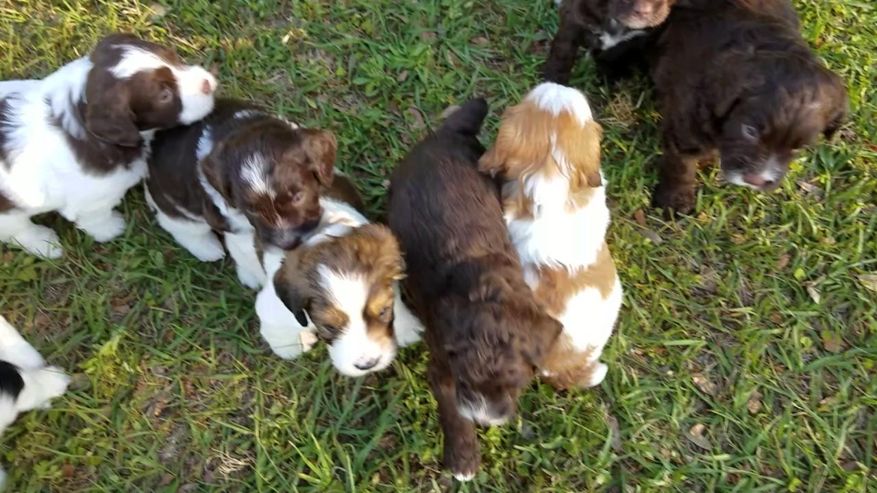 Mini springerdoodle puppies