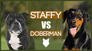 STAFFORDSHIRE BULL TERRIER VS DOBERMAN