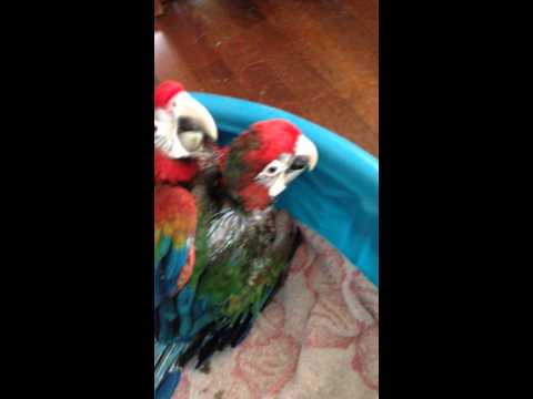 Flame Macaws