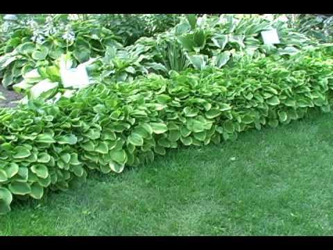 Hostas For Garden Borders - YouTube