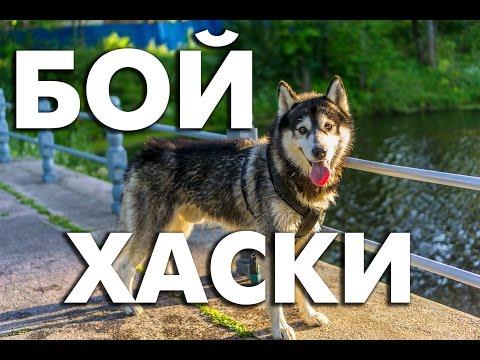 Хаски -  бои собак