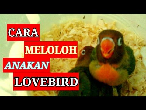 Cara Meloloh Anakan Lovebird Cara Memberi Makan Anakan Love Bird Youtube