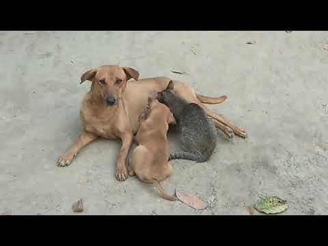 Amazing | Cat and Puppy Drinking Milk From Mother Dog - Dogs Loves Cats