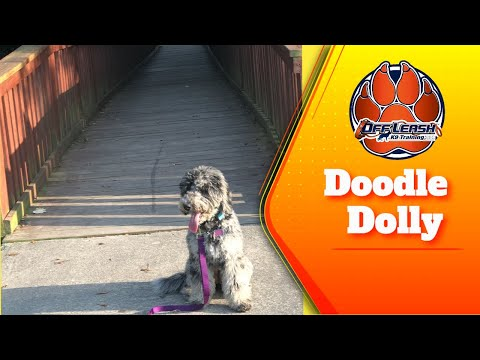 Dolly 6 month old Doodle Goes from unfocused to focused!