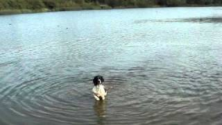English Springer Spaniel Lucky Jumps In The Lake