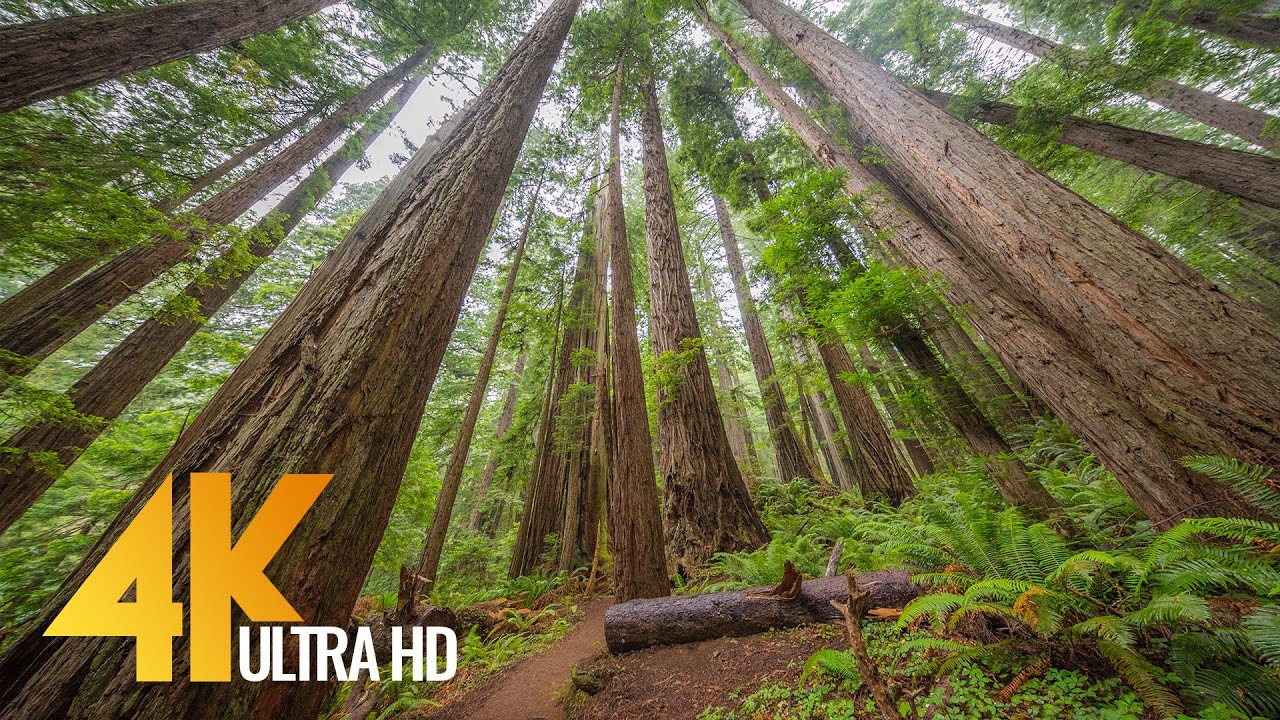 4K Nature Walk along Trail of the Cedars, North Cascades - Virtual Forest Walk with Calming Music