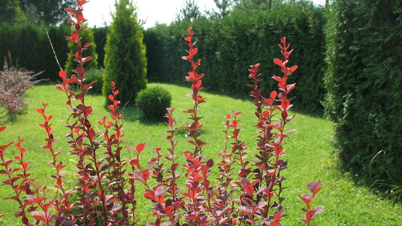 Цветы в саду. Декоративный кустарник. Живая изгородь. Хвойные .