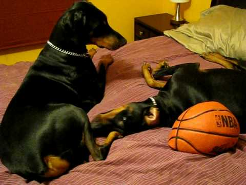 Doberman's playing, growling, and snapping