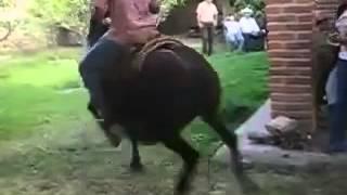 Caballo Rumbero bailando Tamarindo