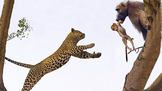 Monkeys do not escape the attack of leopards   Monkeys are helpless before the wisdom of leopards