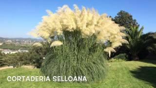 Cortaderia selloana. Garden Center online Costa Brava - Girona.(Cortaderia selloana. Garden Center online Costa Brava - Girona. Web: http://personalgardenshopper.es/, 2014-10-22T12:29:38.000Z)