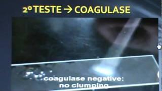 Staphylococcus aureus - Identificação