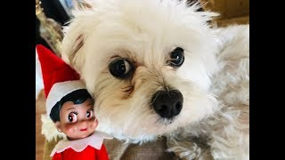 ELF ON THE SHELF MAGICALLY TURNS PUPPY INTO SHIRT!
