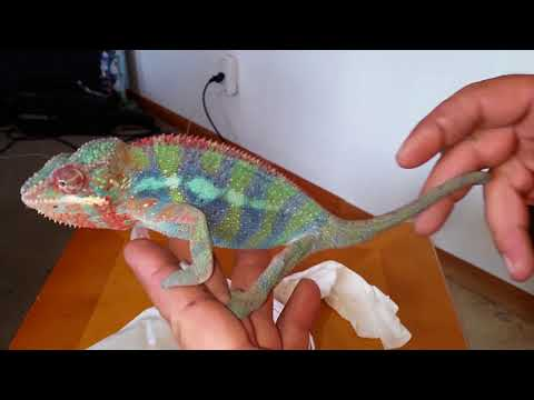 Unboxing New Panther Chameleon