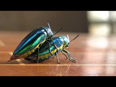 Jewel beetle having sex