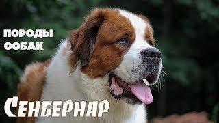Породы собак. Сенбернар