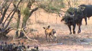 Wild dogs vs buffalos