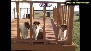 Collie, Puppies, For, Sale, In, Anchorage, Alaska,AK, Fairbanks, Juneau, Eagle River