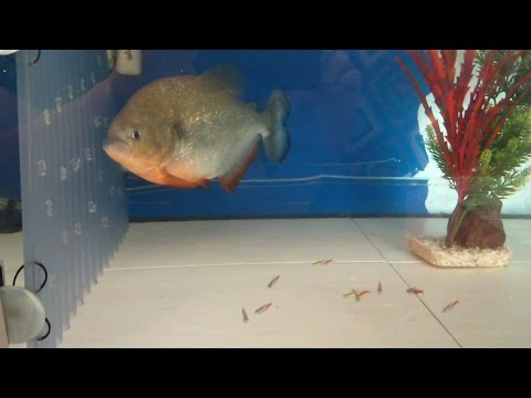 Can A Giant Piranha Live With Tiny Fish ? ( Neon Tetras )