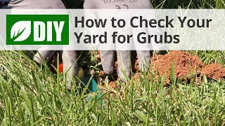 How to Inspect for Lawn Grubs