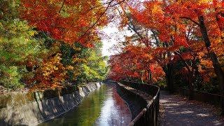 京都 紅葉 山科疎水  毘沙門堂
