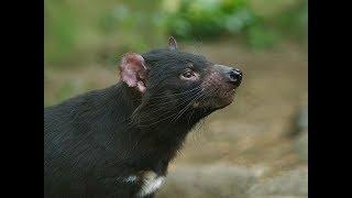 Tasmanian Devil (Sarcophilus harrisii) Compilation