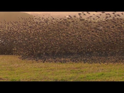 Mind Blowing Starling Murmuration - Exceptional Close Up in