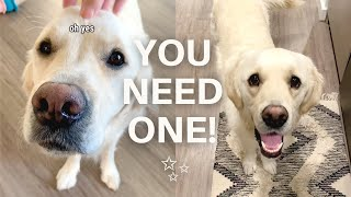 Why Golden Retrievers Are The Best Dog Breed (Part 1)