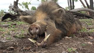 Wild Boar Australia. 6.5 Creedmoor.