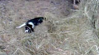 Benjie My Springer Spaniel