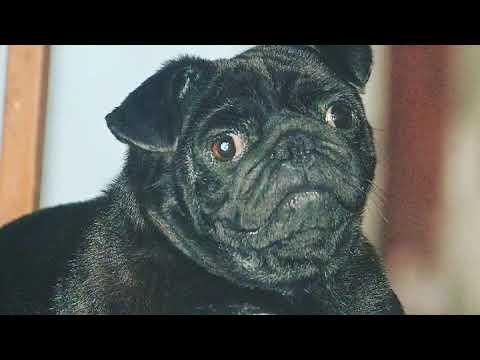Black pug!! Pug dog !!  Cute pug black!!  Dog world