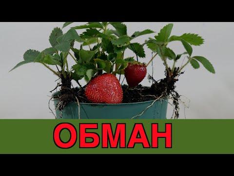 Выращивание клубники из семян в домашних условиях пошаговое фото