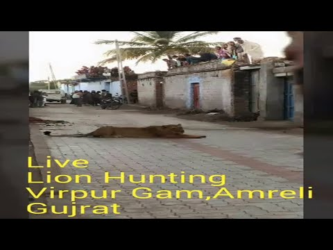 Live Lion Hunting # Shocking Video From Amreli Gujarat