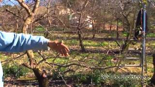 Pruning -  Apricot Trees