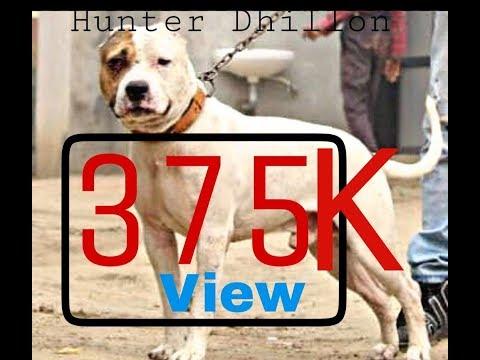 pitbull dog full fighter