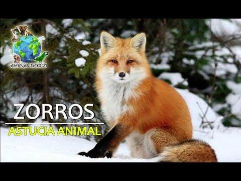 ASTUCIA ANIMAL...ZORROS