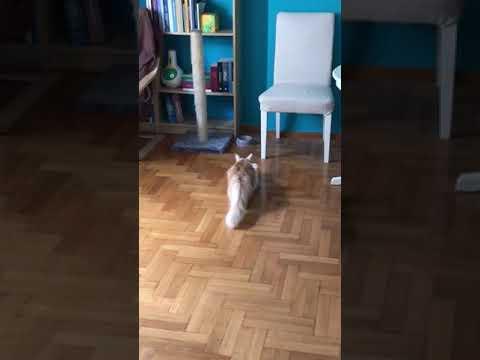 Funny Somalian Cat Katsiki